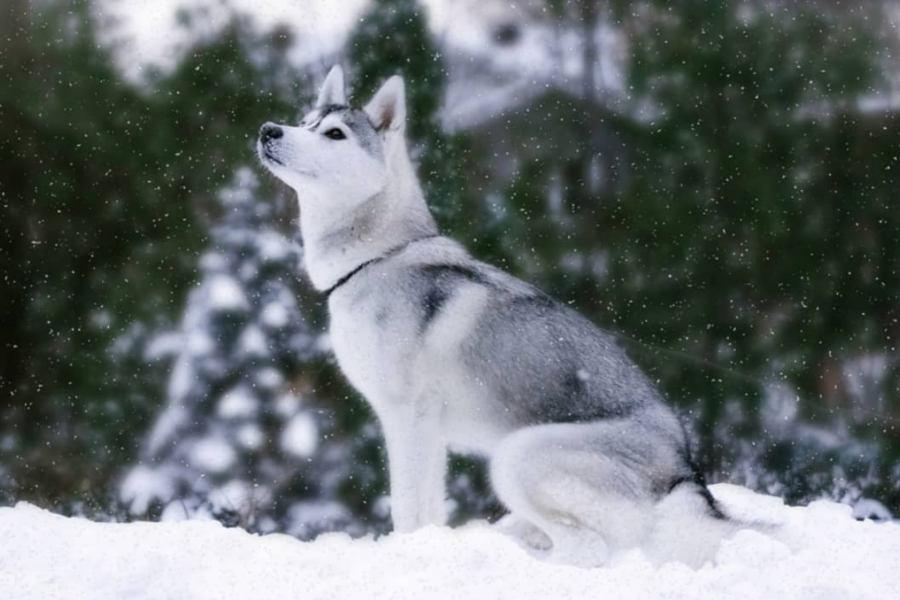 Siberian Husky Skaya (Photo: @skaya.siberian / Instagram)