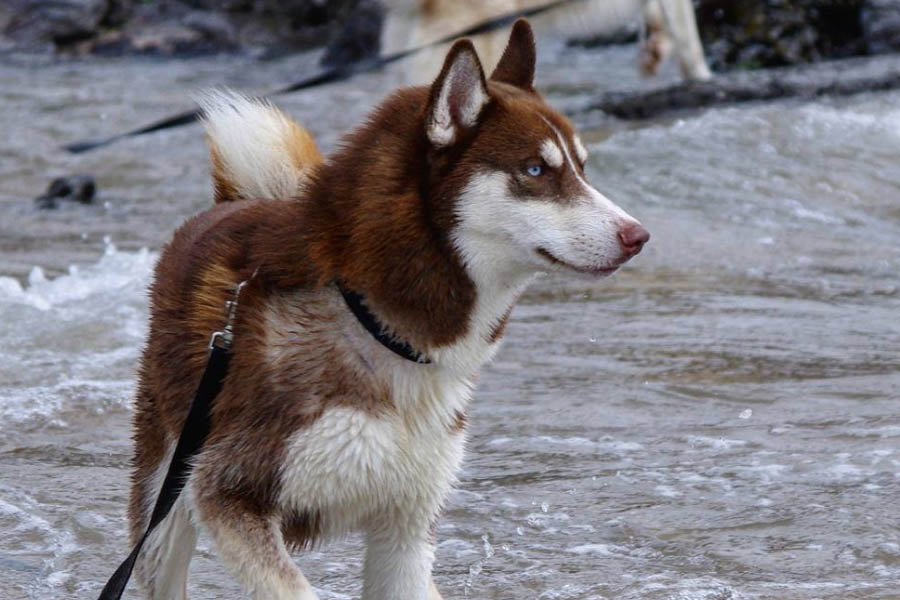 Siberian Husky in the river (Photo: huskies_navas / Instagram)