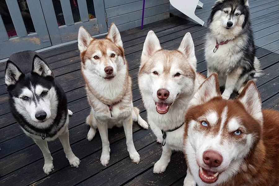 Siberian Husky can come in a wide variety of colours (Photo: navas_huskies / Instagram)