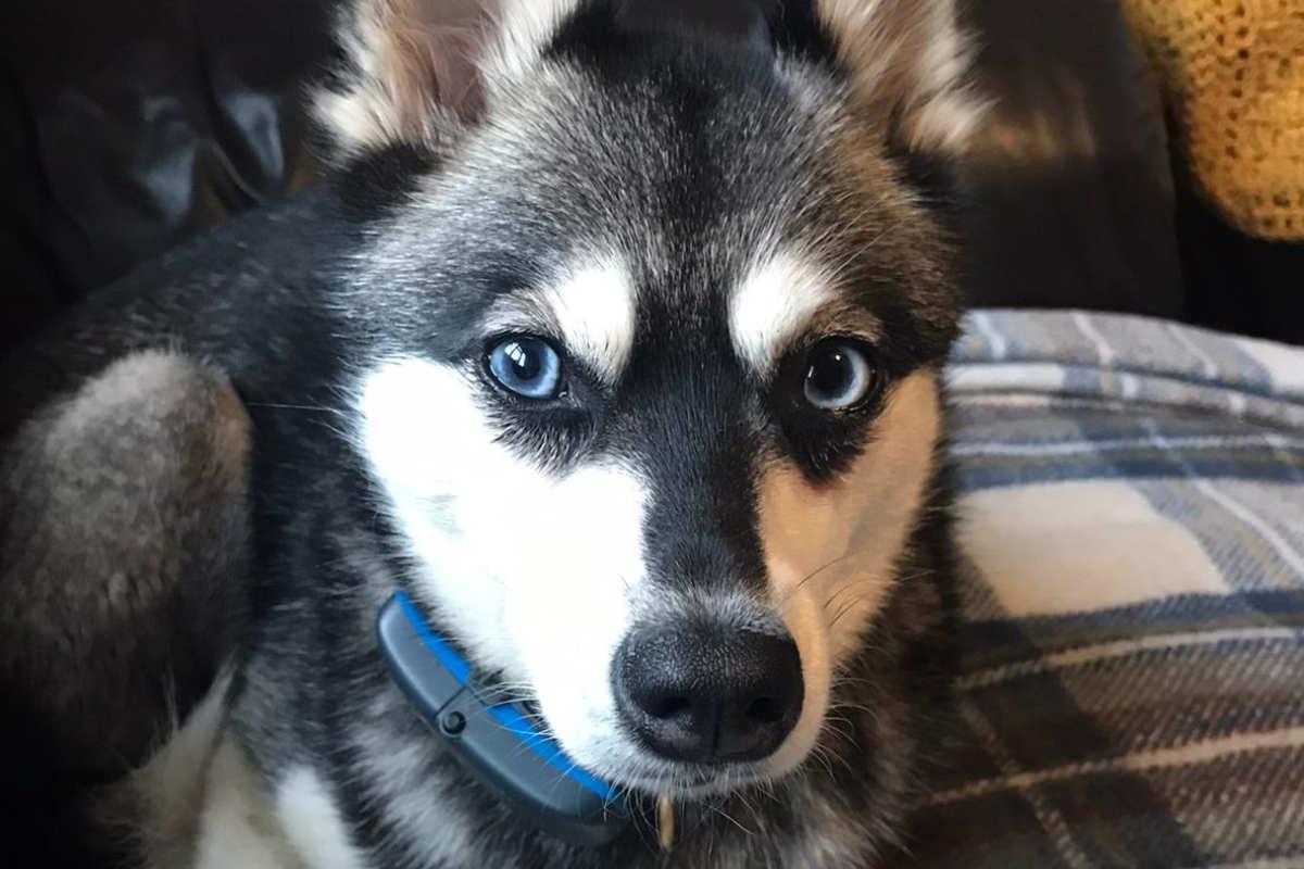 Skye the Alaskan Klee Kai (Photo: lifewithkleekai/Instagram)