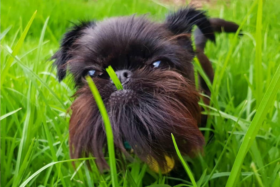 Brussels Griffon originated in Belgium (Photo: @squidthegriff / Instagram)