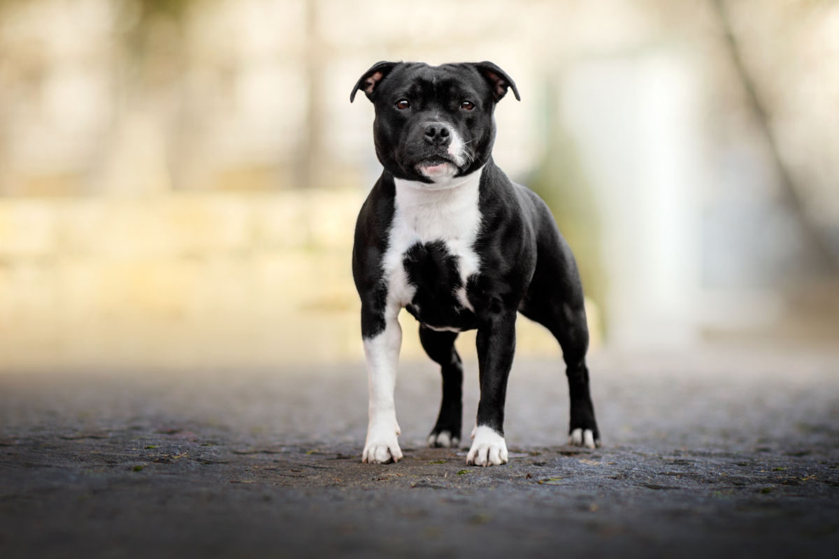 Staffordshire Bull Terrier (Photo: Adobe Stock)