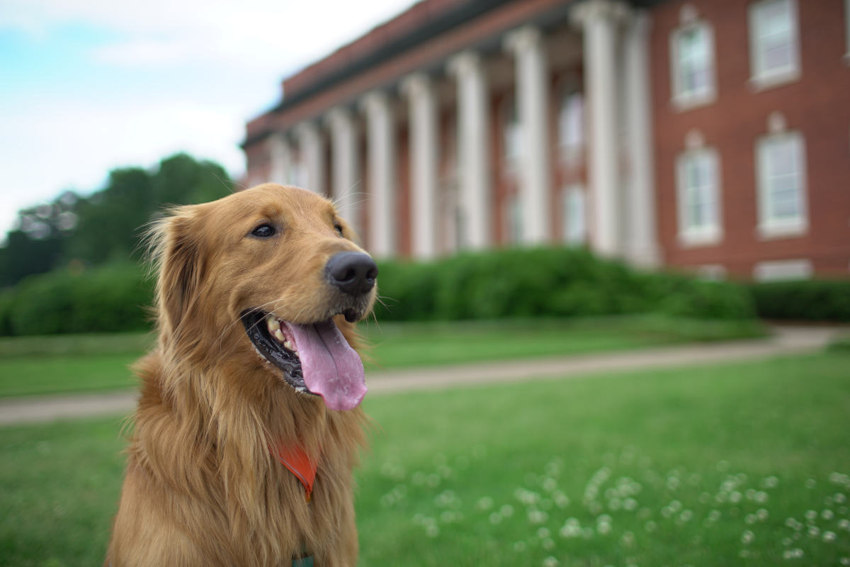 Golden Retriever poses in front of a college building (Photo: Adobe Stock)