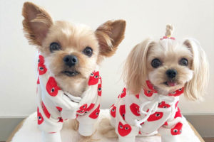 Taco and Minnie the Yorkshire Terriers interview