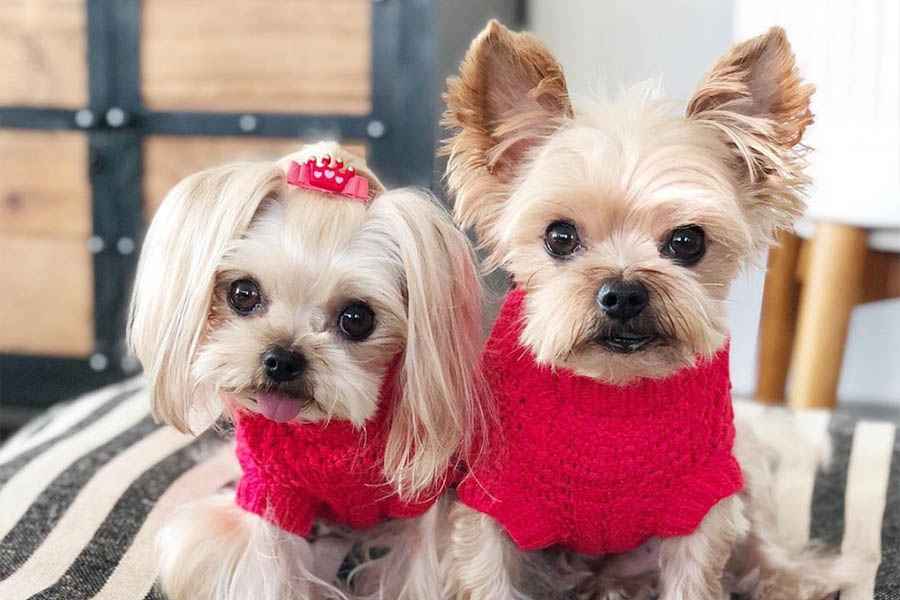 Taco and Minnie the Yorkshire Terriers (Photo: @taco_minnie / Instagram)