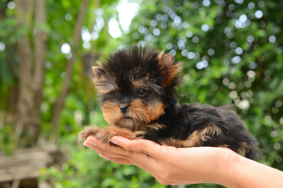 Teacup Yorkshire Terrier (Photo: Adobe Stock)