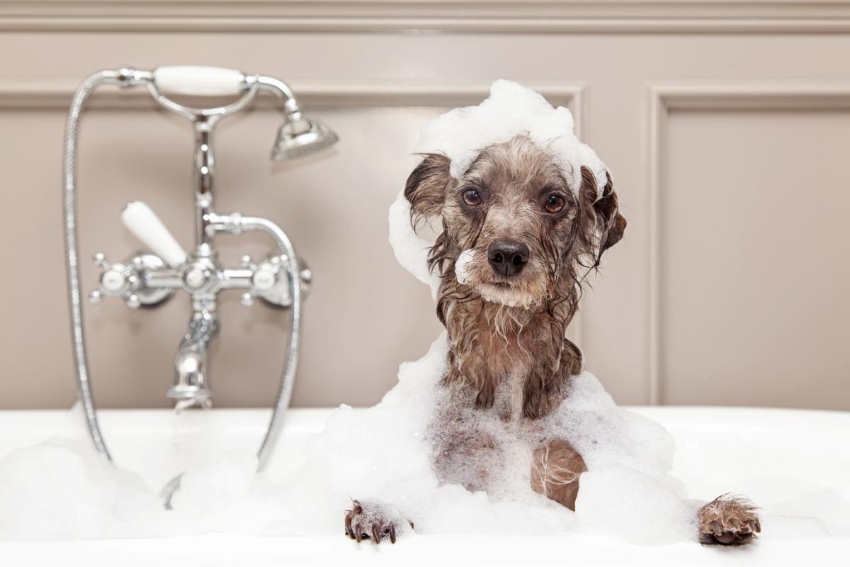 Terrier gets a bath (Photo: Adobe Stock)