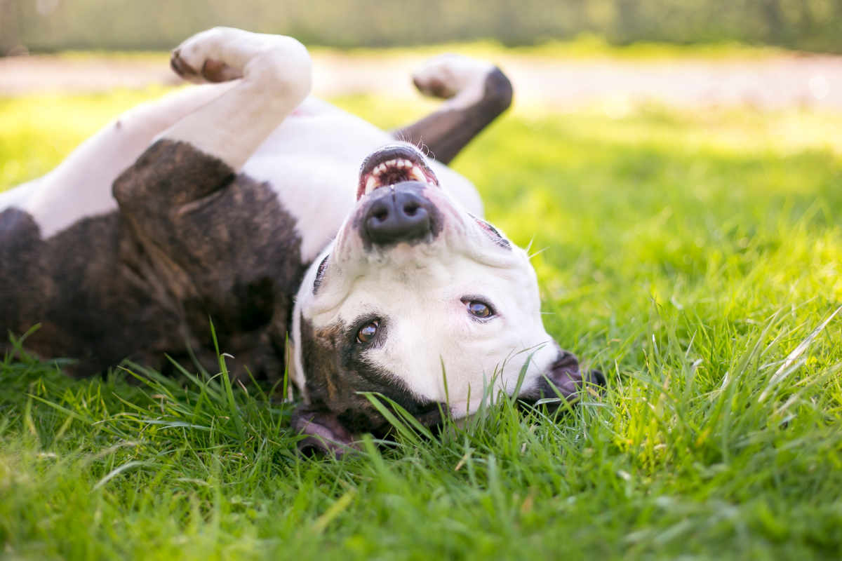Terrier mix rolls in the grass (Photo: Adobe Stock)