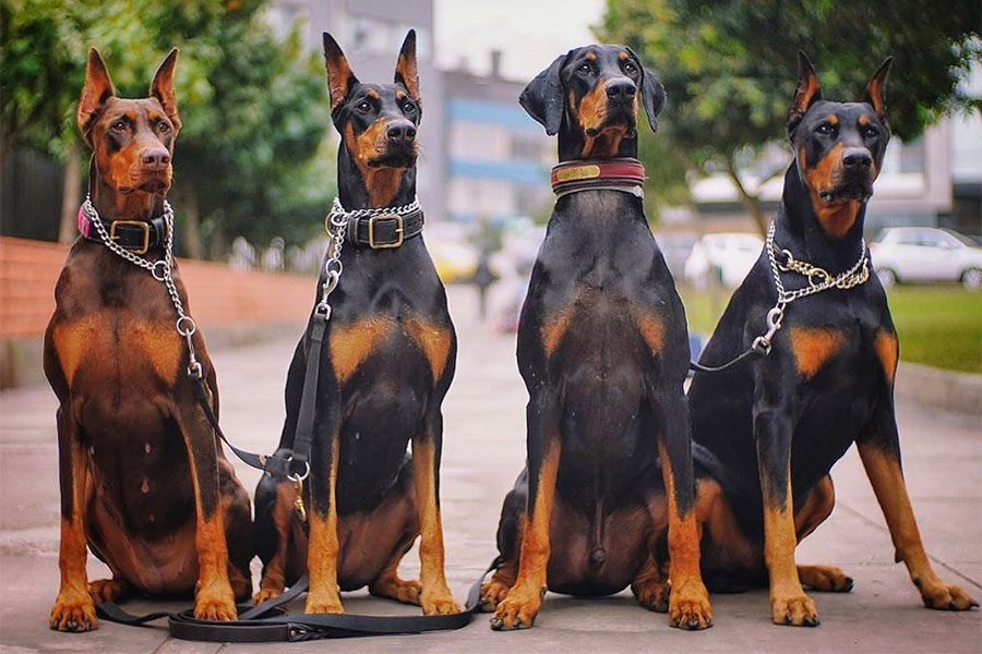 The Dobie Team (Photo: @thedobieteam / Instagram)