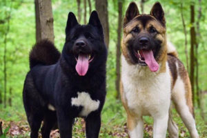 Morrow American Akitas Questions And Answers