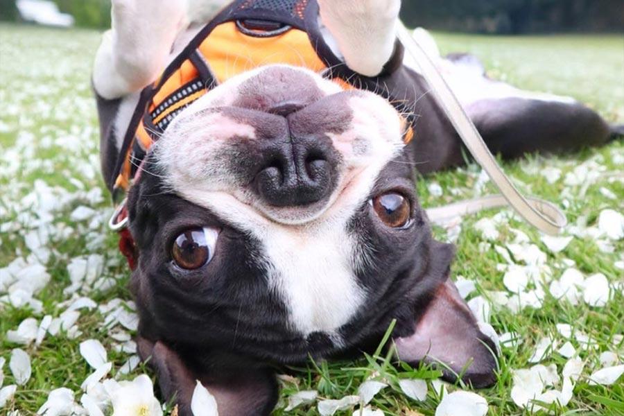 Toby the Boston Terrier (Photo: @tobythegentleman / Instagram)