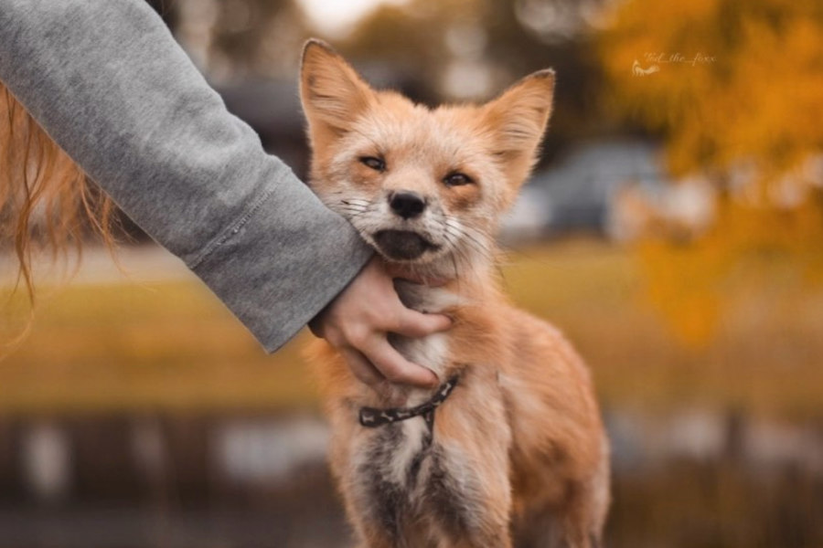 Tod the Fox (Photo: @tod_the_foxx / Instagram)