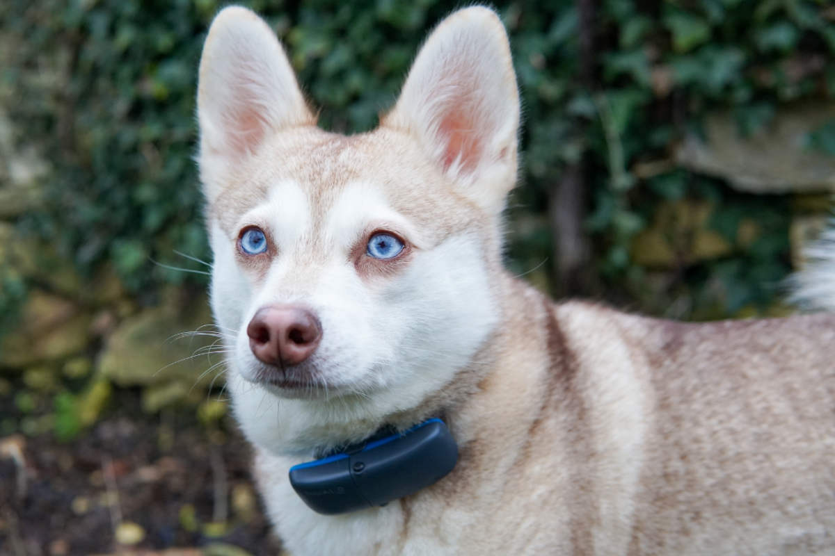 Alaskan Klee Kai wearing the Tractive GPS tracker for dogs (Photo: @lifewithkleekai / Instagram)