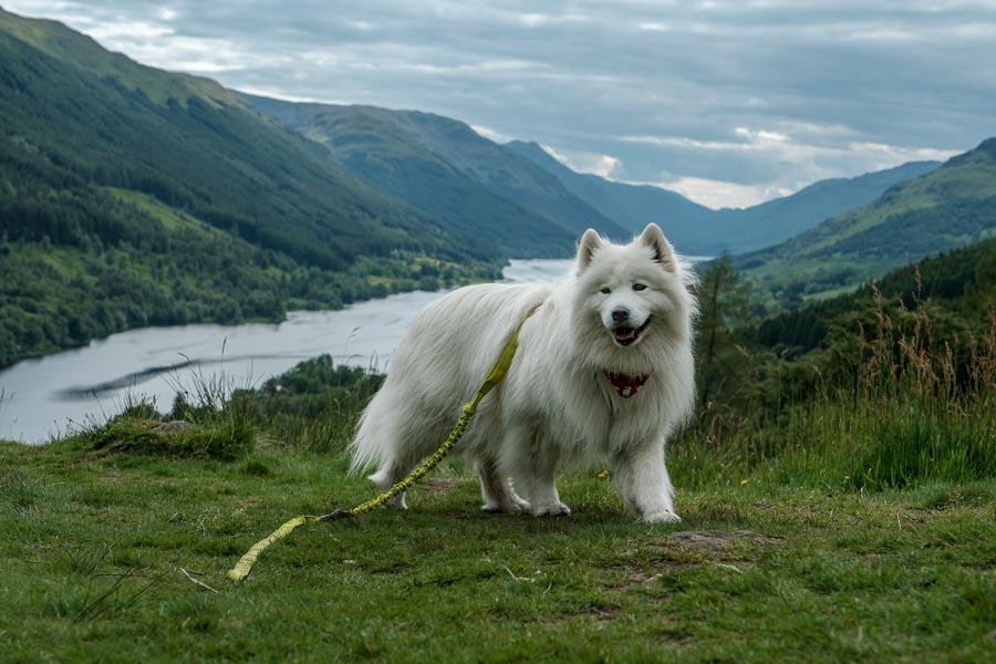 Sally the Samoyed on long leash (Photo: @scotlandwithfluffywolf)