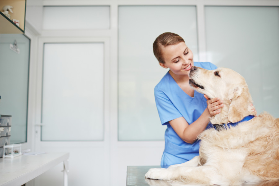 Golden Retriever gets check up at the vet (Photo: Adobe Stock)