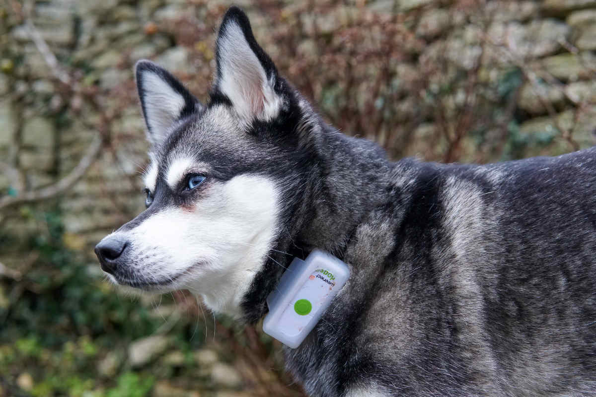 Alaskan Klee Kai wearing the Weenect GPS tracker for dogs (Photo: @lifewithkleekai / Instagram)