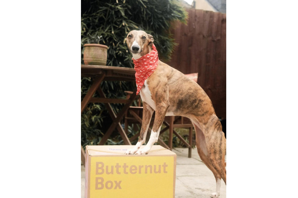 Lolly the Whippet (Photo: lollythewhippet / Instagram)