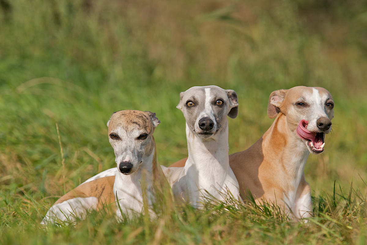 Whippets (Photo: Adobe Stock)