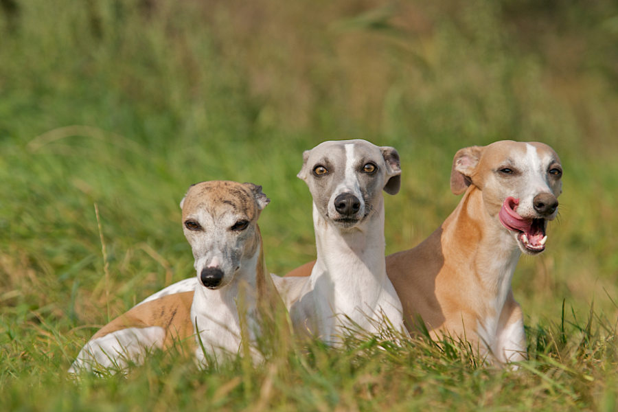 Three Whippets relax in the grass (Photo: Adobe Stock)
