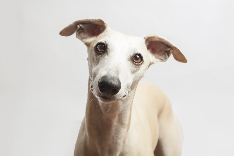 Whippet poses for the camera (Photo: Adobe Stock)