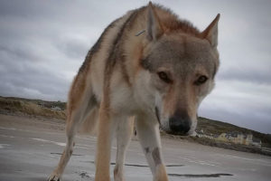 WilloW the Czechoslovakian Wolfdog Questions and Answers