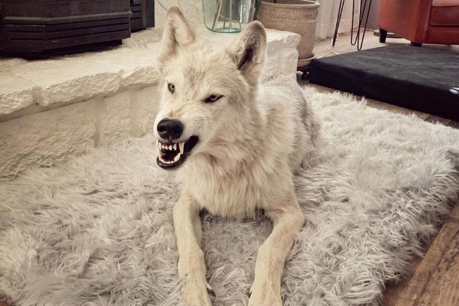 Archer the Wolfdog (Photo: desertbunnyandwolf / Instagram)