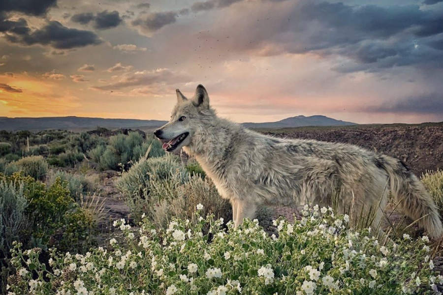 Archer the Wolfdog (Photo: desertbunnyandwolf / Instagram)