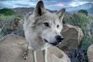 Archer the Wolfdog interview