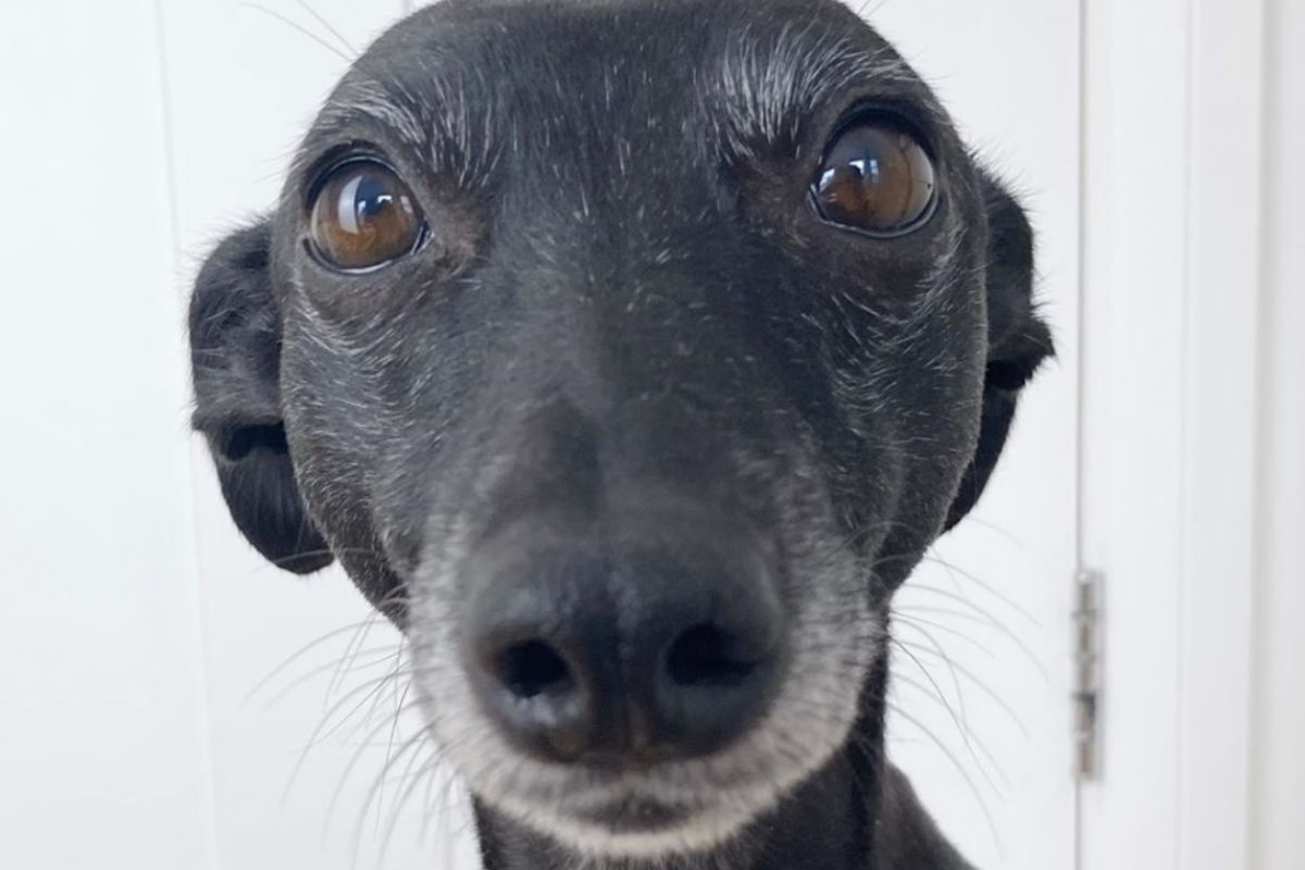 Jess the Worried Whippet (Photo: @worriedwhippet / Instagram)