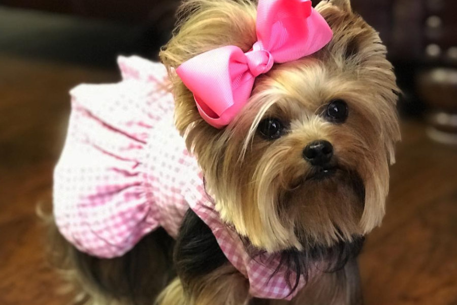 Yorkshire Terrier star Miss Maggie Mae (Photo: _miss_maggiemae / Instagram)