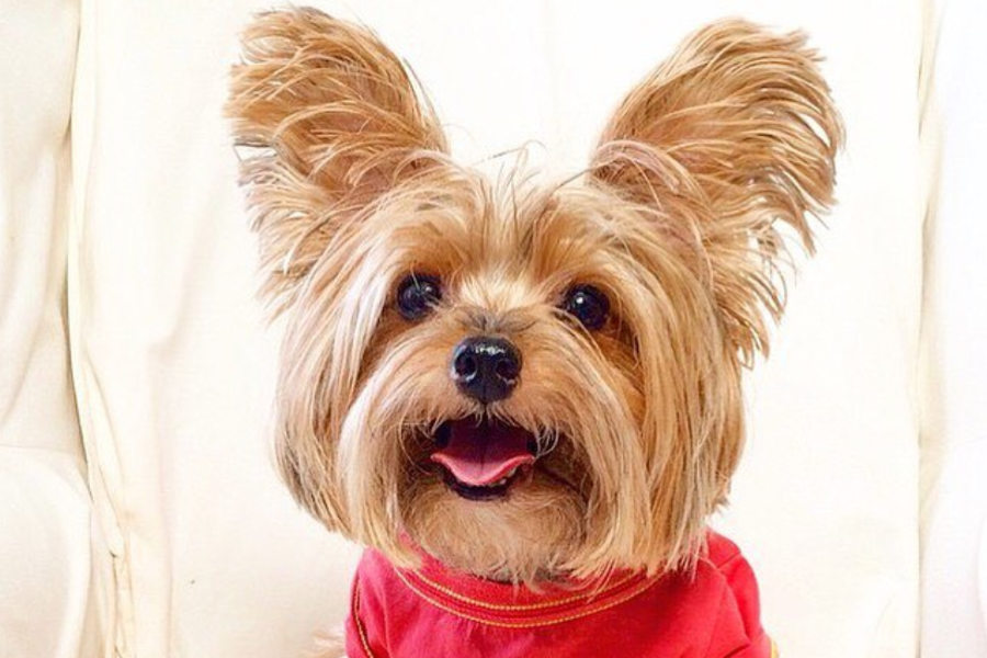 Yorkshire Terrier Michcant (Photo: Michcant)