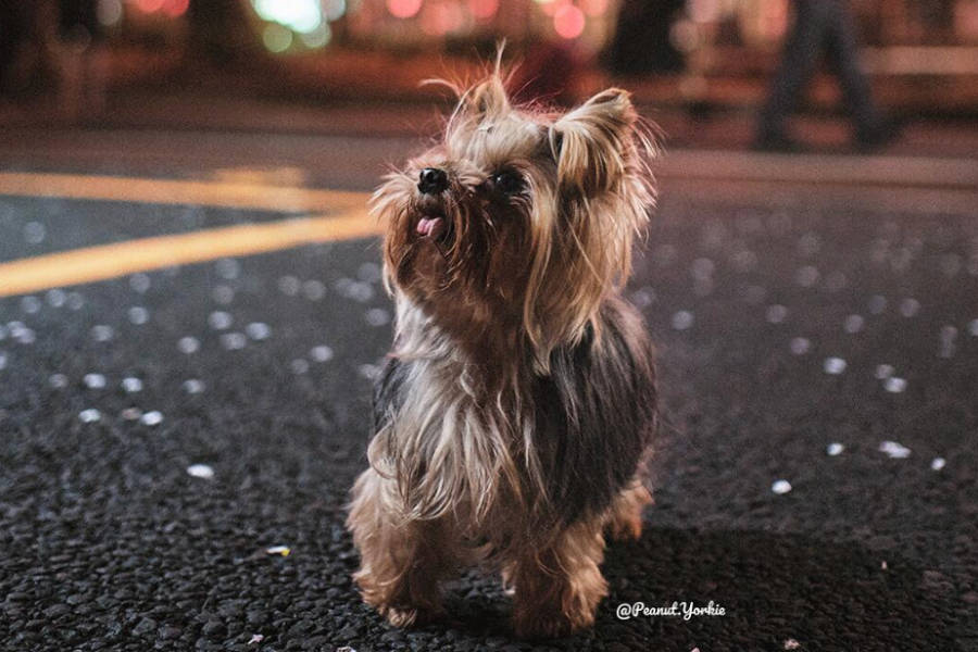 Yorkshire Terrier Peanut (Photo: @peanut.yorkie / Instagram)