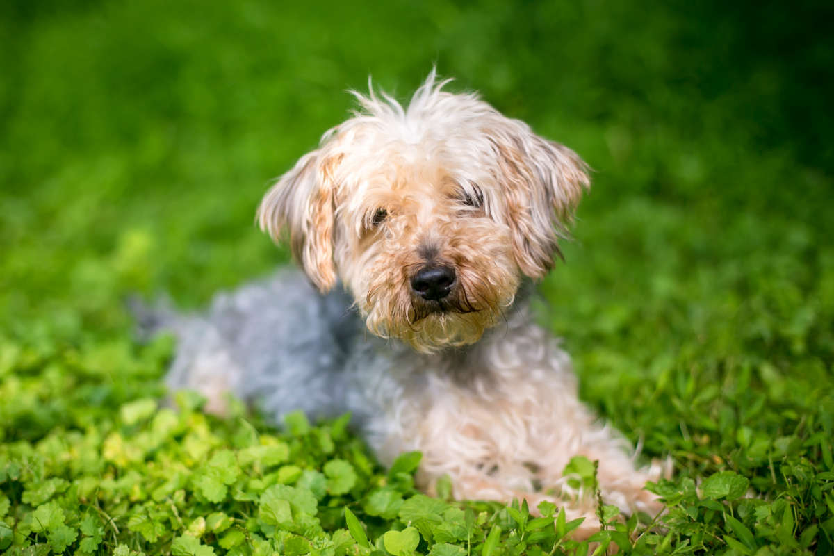 Yorkipoo lies down in the grass (Photo: Adobe Stock)
