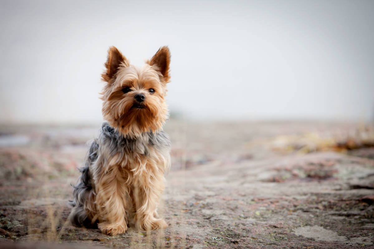 Yorkshire terrier sitting down outdoors (Photo: Adobe Stock)
