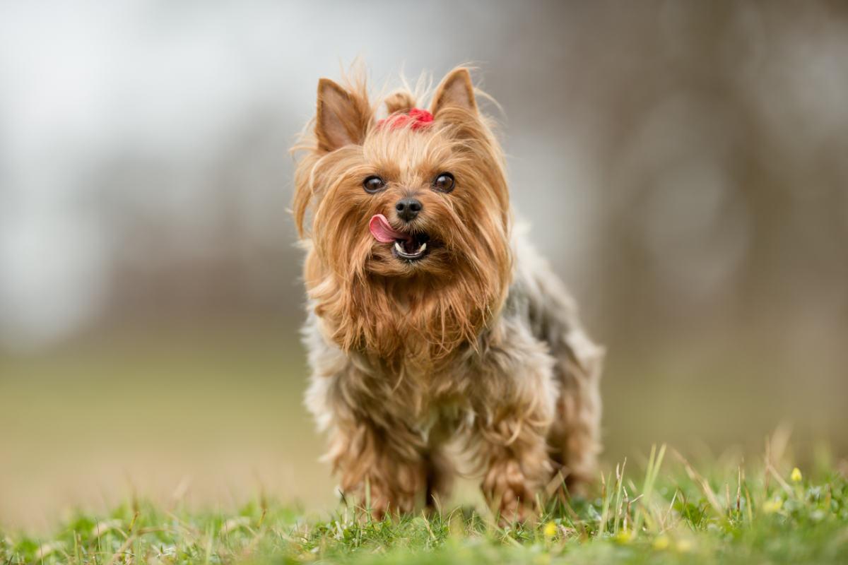 Yorkshire Terrier licking lips (Photo: Adobe Stock)