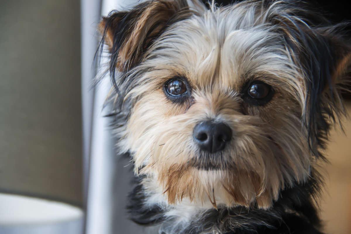 Yorkshire Terrier staring at camera (Photo: Adobe Stock)