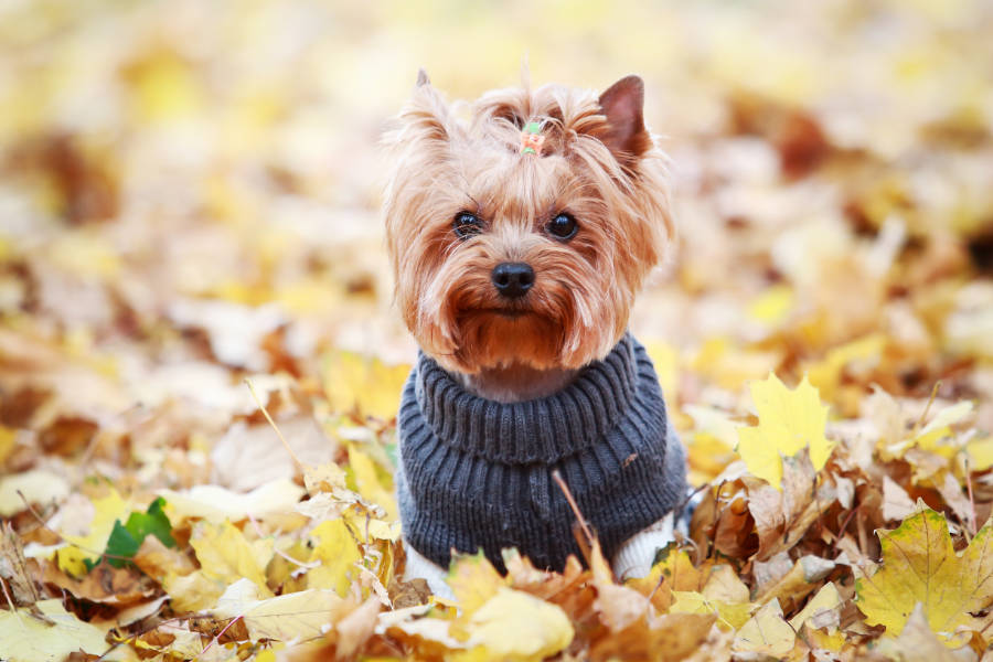 Yorkshire Terrier (Photo: Adobe Stock)