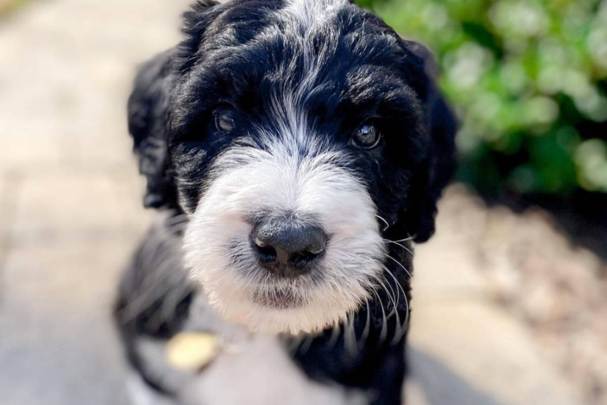 Ziggy the Bernedoodle (Photo: @thebernedoodleziggy / Instagram)