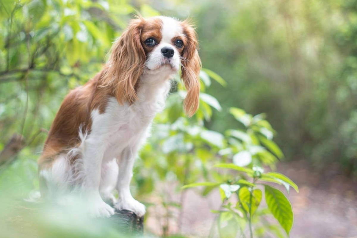 Zoey the Cavalier (Photo: @zoeymycav / Instagram)
